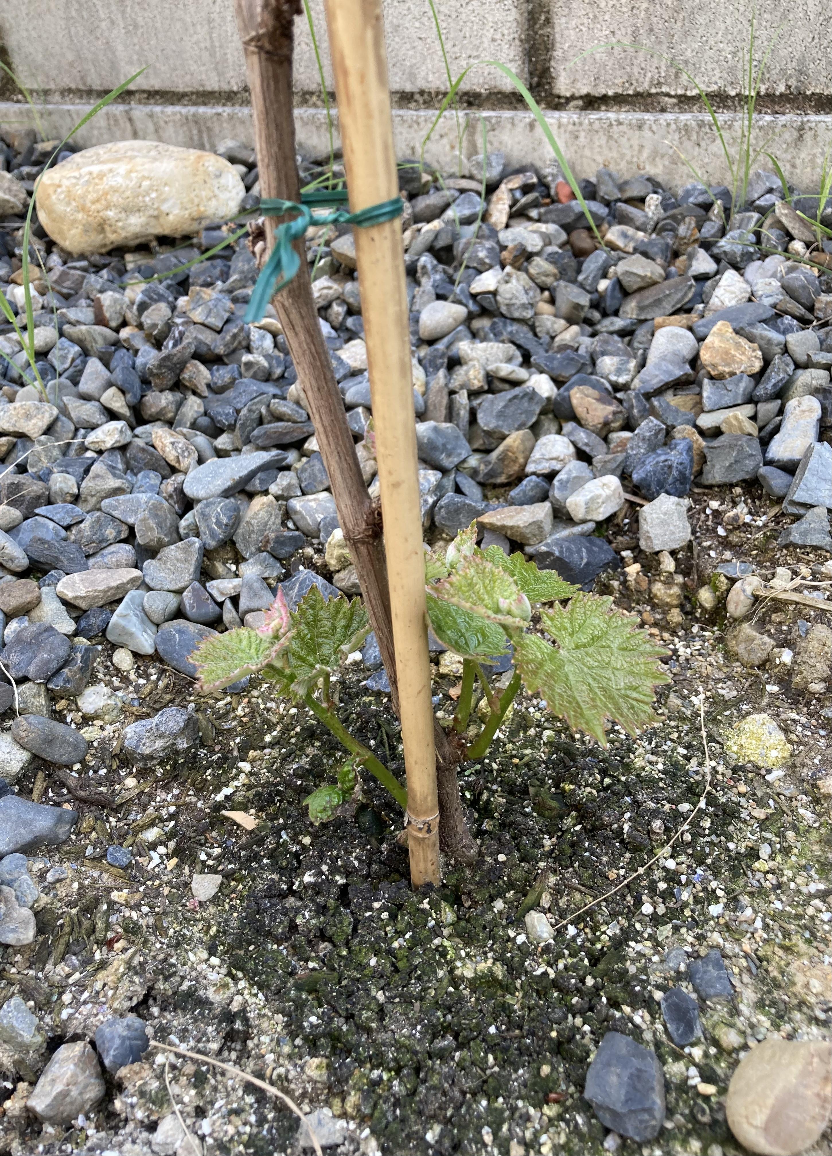 ブドウの苗木成長日記